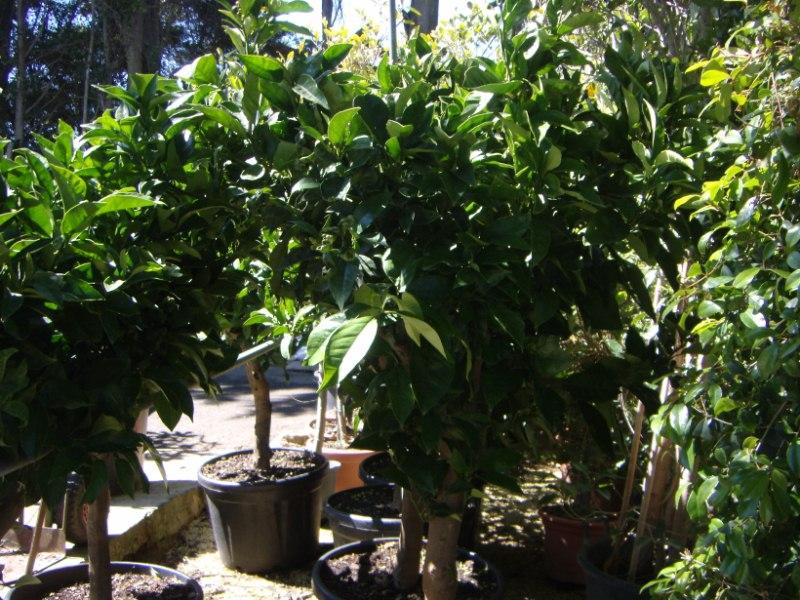 Comprar arboles frutales en macetas en vivero de guardamar for Viveros de arboles en madrid